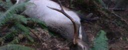 68 yard shot on bedded bull elk