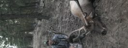 This fall I shot my Washington bull at 70 yards with my .50 Caliber Knight Disc Extreme, also using .300 grain bloodlines.  Great combo!