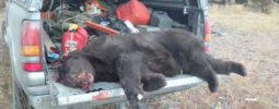 Sorry but not the best picture. This is my first bear with my muzzleloader. Was walking to the truck and jumped her. Made a fast shot and followed up for a 2nd shot and missed. Loaded up to finish her but she ran up a tree. I shot her again and had a hell of a time getting her down. Love my bighorn